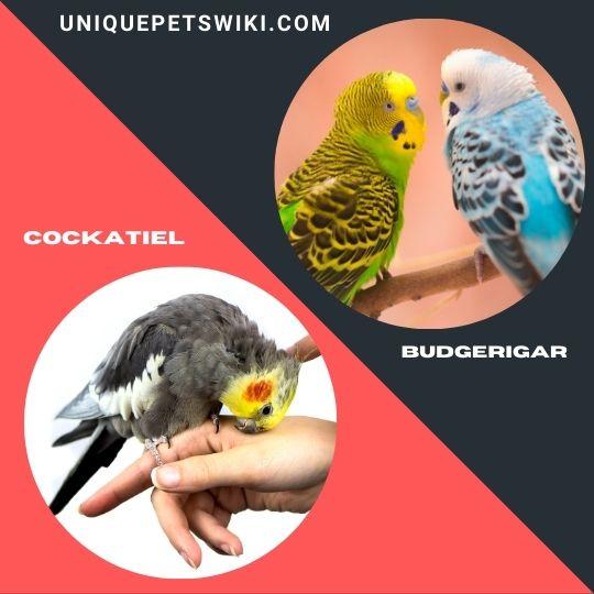 Cockatiel and Budgerigar small bird breeds
