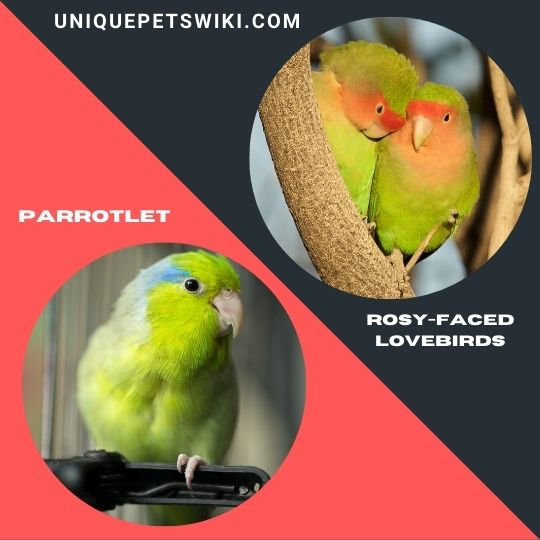 Parrotlet and Rosy-Faced Lovebirds