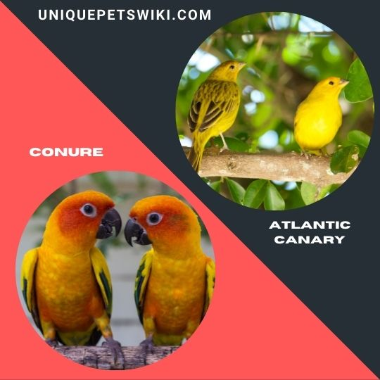 Conure and Atlantic Canary