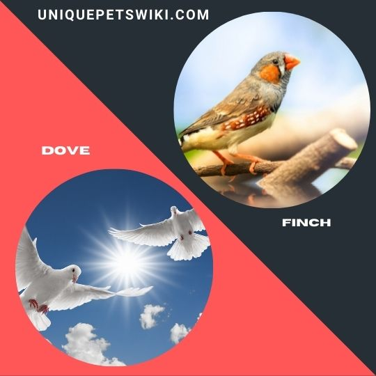Dove and Finch birds
