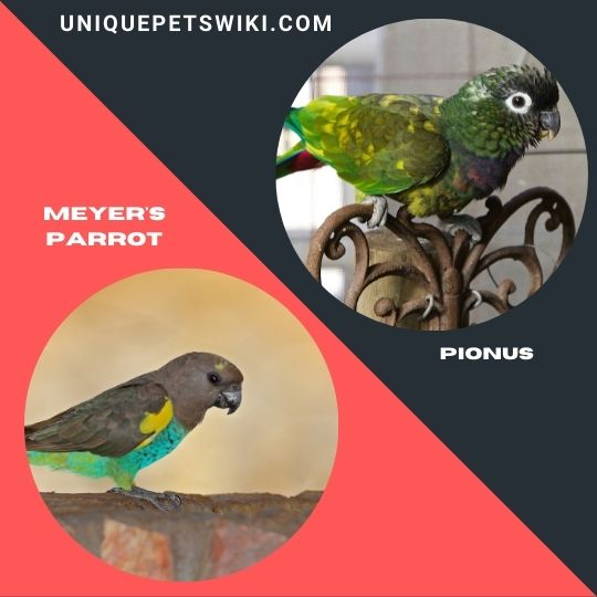 Meyer's Parrot and Pionus
