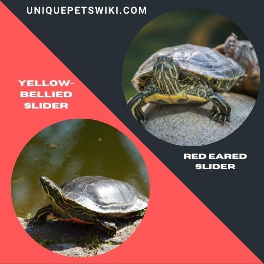 best beginner pet turtles