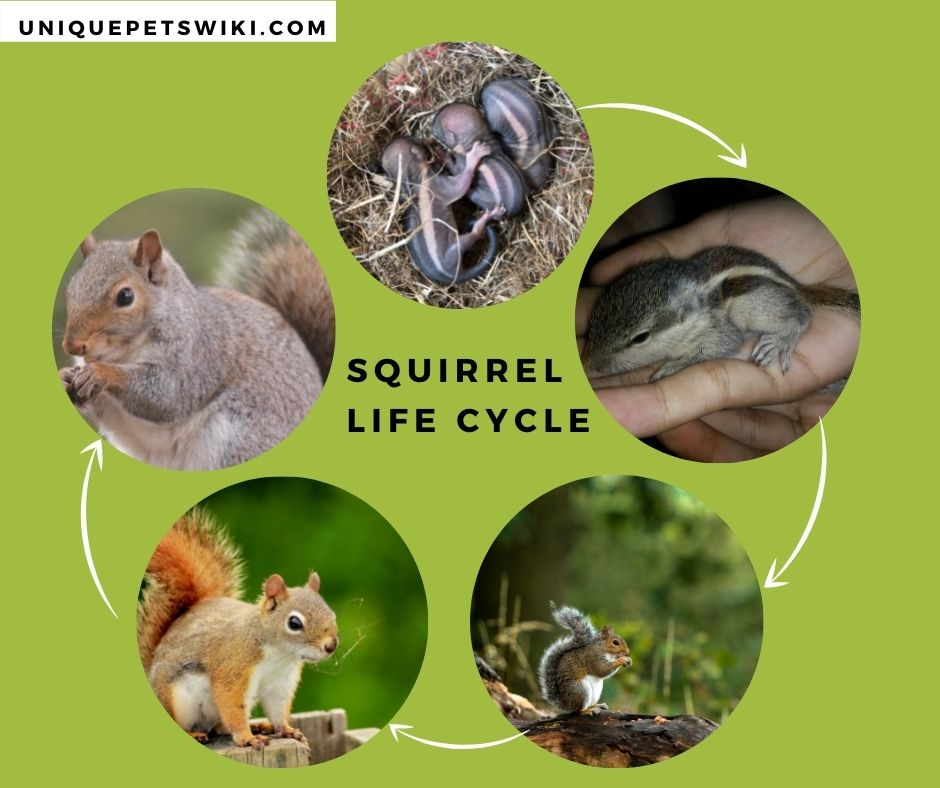 Squirrel Life Cycle
