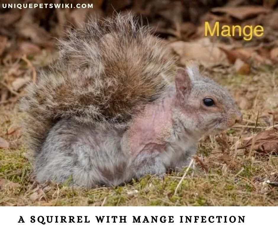 A squirrel with mange infection