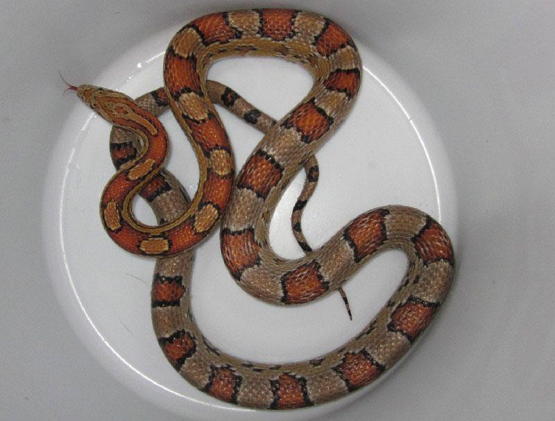 Alabama Corn Snakes