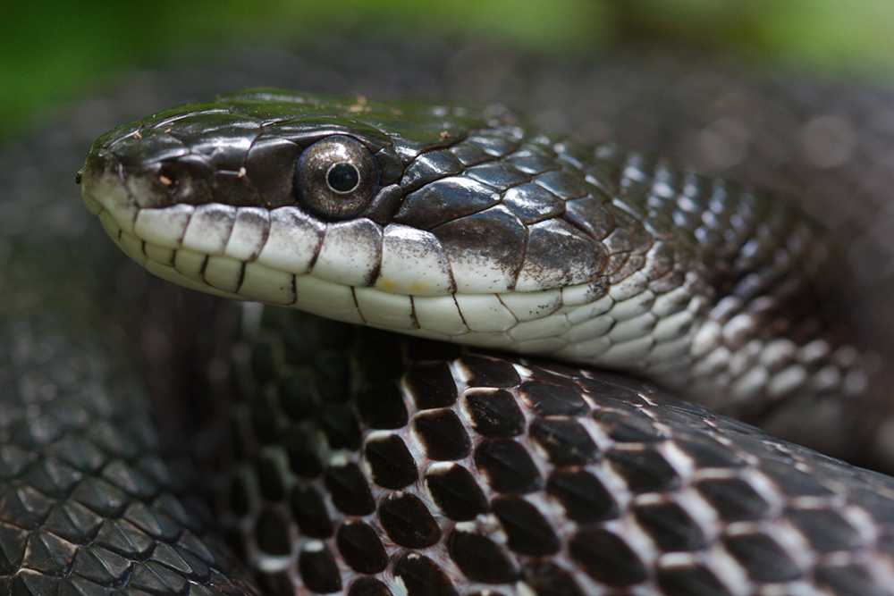 Black Rat Snake Is Harmless