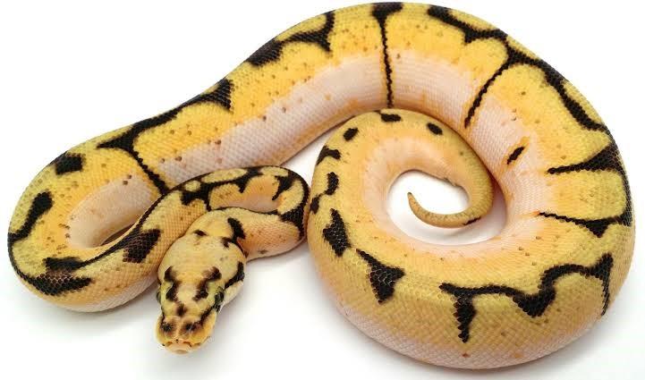 What temp should my ball python tank