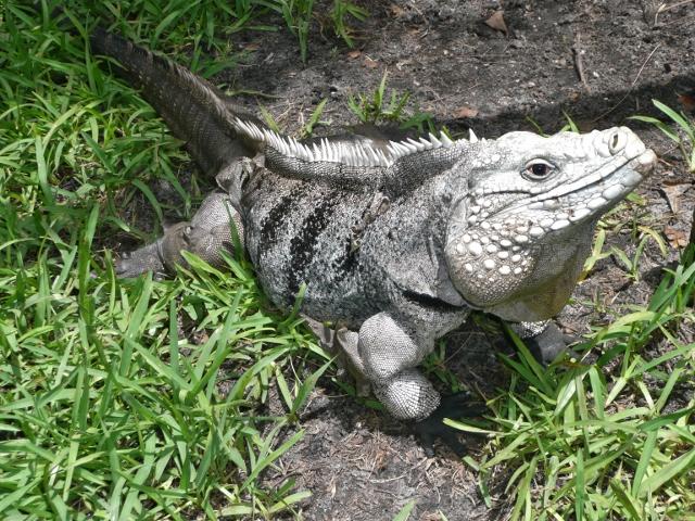 Cayman Brac Iguana