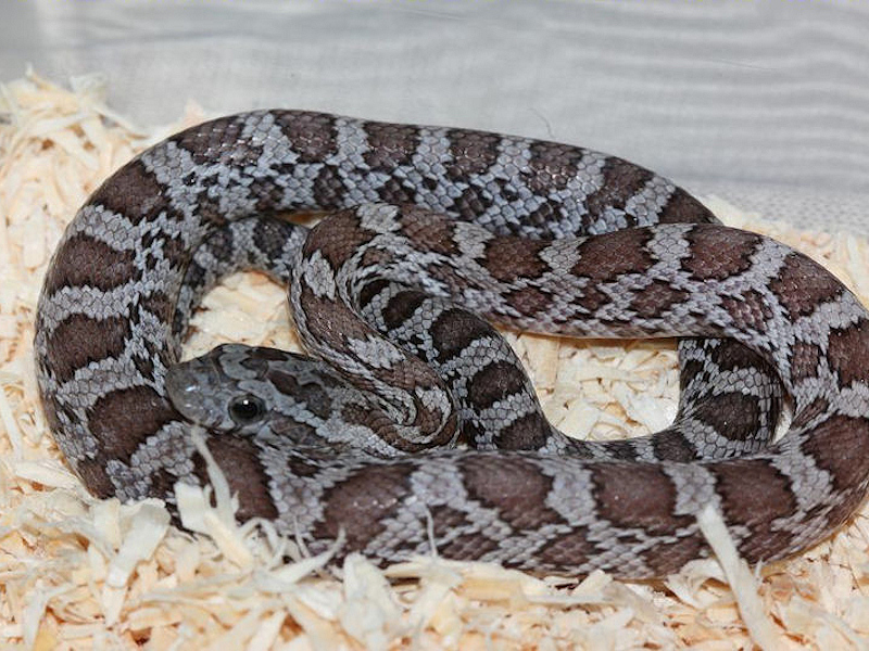Cinder Corn Snakes