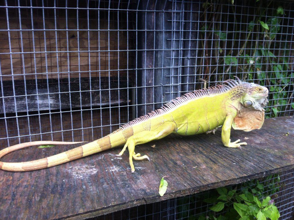 Hypomelanistic iguana
