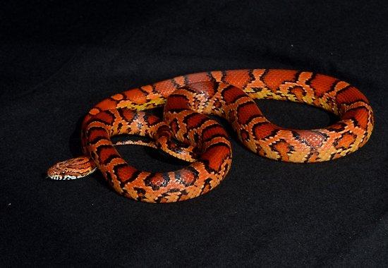Okeetee Corn Snakes