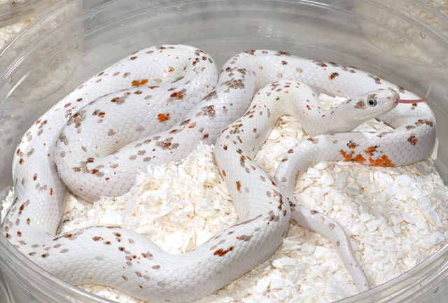 Palmetto Corn Snakes