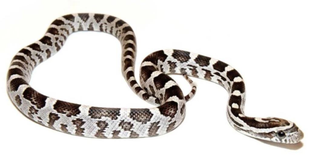Black Corn Snakes