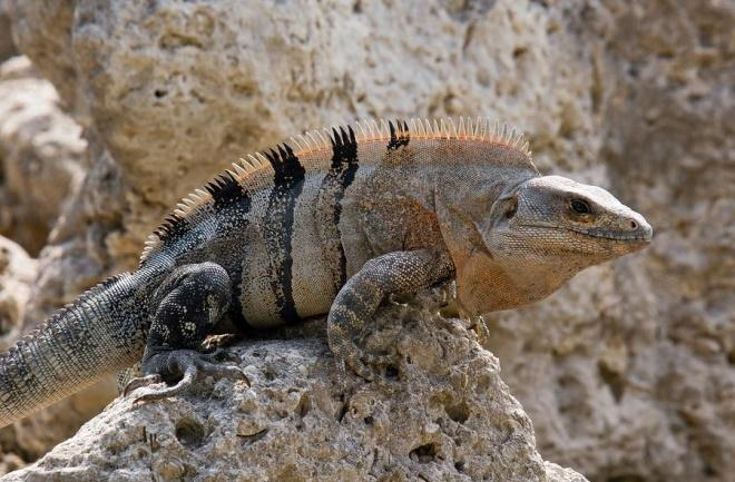 Spiny-tailed iguanas