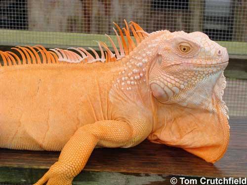 Albino iguana (T-positive iguana)