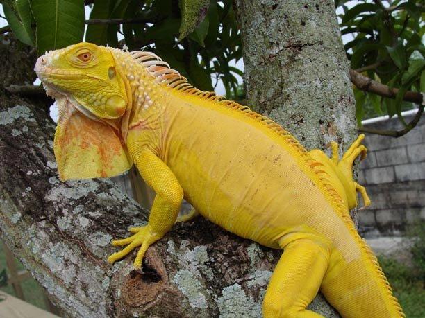 Albino t-negative iguana