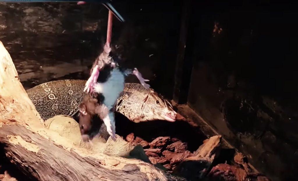 feeding new reptile lizard pet